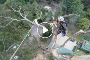 Incrível Vídeo De Como Um Verdadeiro Profissional Corta Árvore De 40 Metros 9