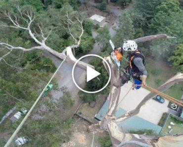 Incrível Vídeo De Como Um Verdadeiro Profissional Corta Árvore De 40 Metros 7