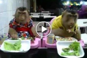 Casal De Macacos Disfruta De Refeição Em Restaurante 10
