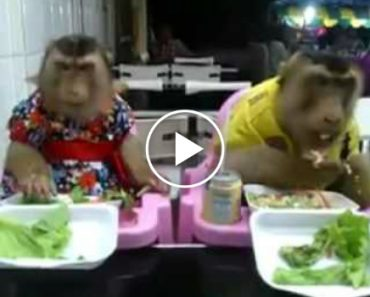 Casal De Macacos Disfruta De Refeição Em Restaurante 3