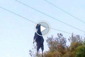 Cabra é Resgatada Depois De Ficar Pendurada Em Cabo Elétrico 10
