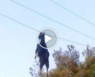 Cabra é Resgatada Depois De Ficar Pendurada Em Cabo Elétrico 5