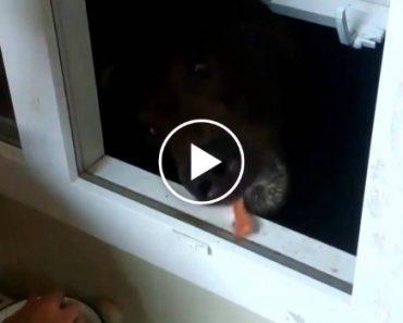 Como Se Alimenta Um Urso Na Rússia 8