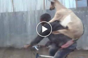 Homem Acompanhado Com a Sua Cabra Fazem Passeio De Bicicleta 10