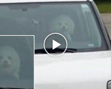 Cão Irritado Por Ficar Sozinho, Buzina Para Que o Dono Volte Para o Carro 2