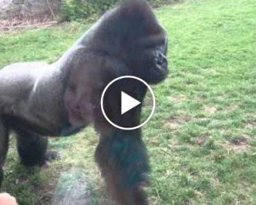 Gorila Assusta Visitantes Depois De Partir Vidro De Protecção Em Jardim Zoológico 1