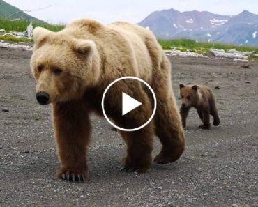 Turistas Vivem Momento Intenso Quando Mãe Ursa e Suas Crias Passam Por Eles 5