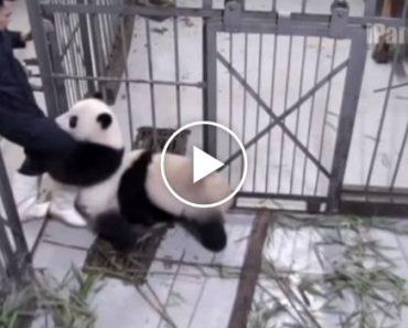 Momento Emocionante Em Que Panda Agarra-se à Perna Do Tratador Para Ele Não Ir Embora 3