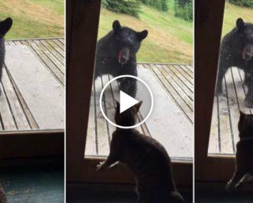 Gato Consegue Afugentar Urso Em Poucos Segundos 7