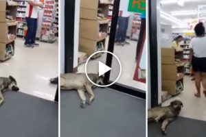 Cão Adormece Entre As Portas Automáticas De Uma Loja e Nem Se Incomoda Quando Elas Se Fecham 10