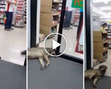 Cão Adormece Entre As Portas Automáticas De Uma Loja e Nem Se Incomoda Quando Elas Se Fecham 1