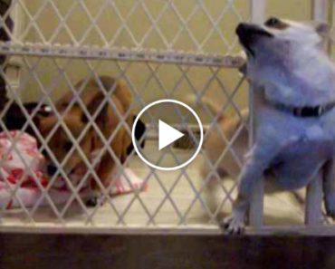 Instala Câmara Para Perceber Como Os Cães Se Soltavam, Nunca Pensou Que Fosse Desta Forma 4