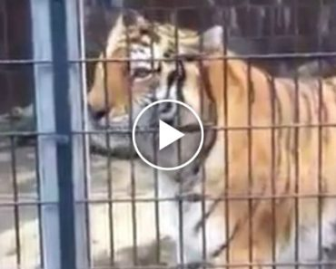 Visitantes De Jardim Zoológico Levam Banho De Xixi De Tigre 3