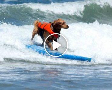 Cães Surfistas São os Únicos Participantes Aceites Nesta Competição De Surf 4