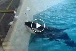 Orca Usa Isco Para Caçar Pássaro 10