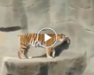 Como Um Pequeno Pássaro Consegue Assustar Um Grande Tigre 4