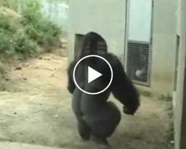 Visitantes Filmam Momento Em Que Gorila Corre Como Um Humano 7