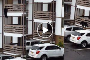 Urso Sobe Pela Fachada De Condomínio Para Entrar Em Apartamentos 9