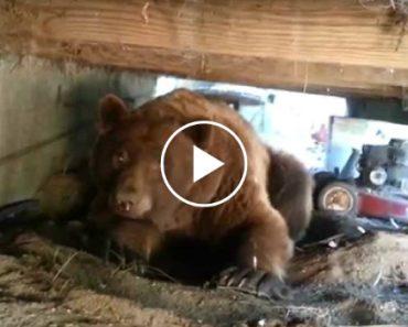 Homem Corajoso é Várias Vezes Ameaçado Por Urso Ao Tentar Afugenta-lo Do Seu Quintal 6