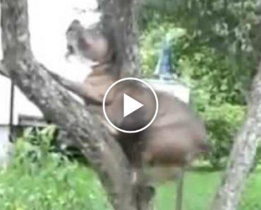 Pitbull Não Se Conforma e Sobe Árvore Para Recuperar Bola 9