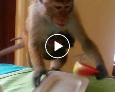 Mãe Macaca Com o Filho Agarrado à Barriga Rouba Refeição De Turistas 7
