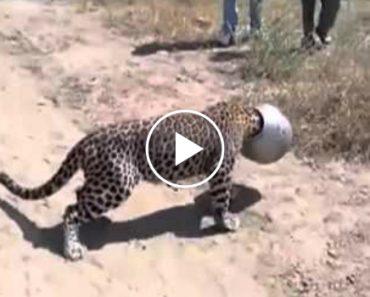 Leopardo Fica Com a Cabeça Presa Em Pote Metálico Durante 6 Horas 5