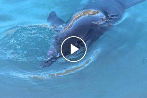 Golfinho Tem Comportamento Bizarro Ao Brincar Com a Própria Língua 10