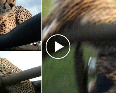 Chita Cai Dentro De Jipe Cheio De Turistas Durante Safari 3