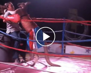 Canguru e Mulher Competem No Mais Épico Combate De Boxe 7