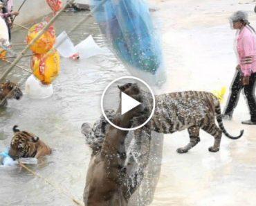 Veja Como Se Brinca Com Os Tigres Na Tailândia 3