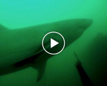 Mergulhador Tem o Susto Da Sua Vida Ao Cruzar-se Com Tubarão 7
