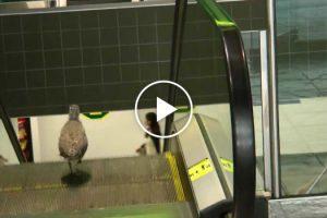 Pássaro Tenta Descer Pelas Escadas Rolantes Erradas Depois De Entrar Em Centro Comercial 9
