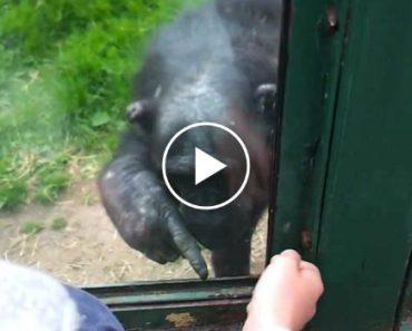 Macaco Explica a Visitante Como Se Abre Jaula Do Zoo Para Poder Sair 6