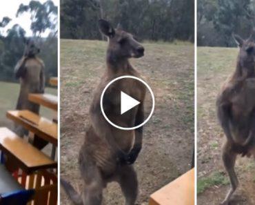 Enorme Canguru Tenta Lutar Com Janela Ao Ver o Seu Próprio Reflexo 1