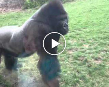 Nunca Bata Com As Mãos Contra o Peito Na Frente De Um Gorila 2