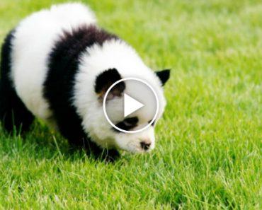 Cão ou Panda?! Dono De Loja De Animais Pinta Cães Para Ficarem Iguais Aos Pandas 8