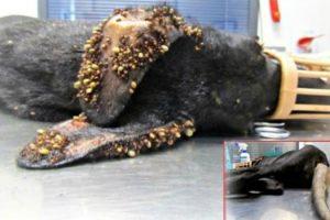 O Resgate Desta Cadela Com Milhares De Carraças e Arame Preso Na Cauda, Quase Chegou Tarde Demais 8