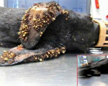 O Resgate Desta Cadela Com Milhares De Carraças e Arame Preso Na Cauda, Quase Chegou Tarde Demais 2