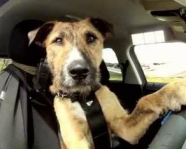 Cães Para Adoção Aprendem a Conduzir 1