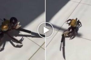 Nova Espécie De Caranguejo Assassino Encontrada No Brasil 8