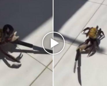 Nova Espécie De Caranguejo Assassino Encontrada No Brasil 7