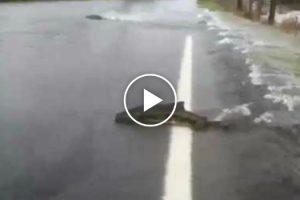 Salmão Atravessa Estrada Inundada!!! 10