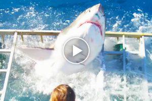 Tubarão Invade Acidentalmente Jaula No Momento Em Mergulhador Estava No Seu Interior 8
