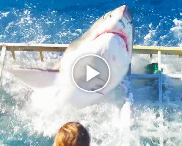 Tubarão Invade Acidentalmente Jaula No Momento Em Mergulhador Estava No Seu Interior 6