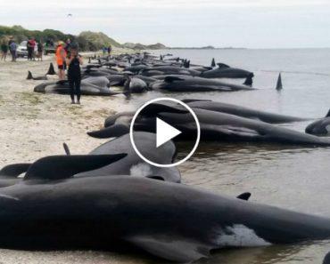 Tragédia: 400 Baleias Deram à Costa Na Nova Zelândia, 300 Já Morreram! 4