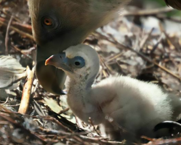 Abutres Gays Tornam-se Pais Ao Chocarem Ovo Rejeitado Por Outras Aves 2