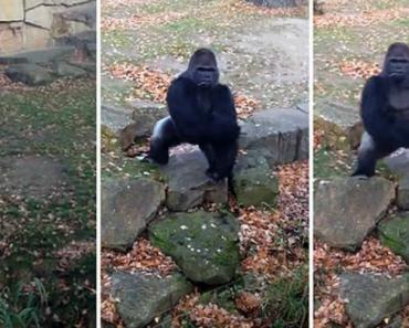 Gorila Mostra Descontentamento a Visitantes Do Zoo 3