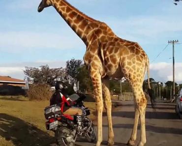 Girafa Descobre Que Tem Paixão Por Motos 3