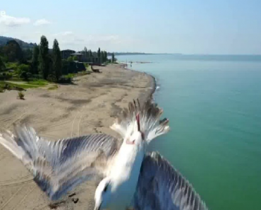 Gaivota Faz Extraordinária Manobra Para Evitar Colisão Com Drone 5