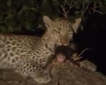 Leopardo Mata Babuíno Mas Adota a Sua Cria 9